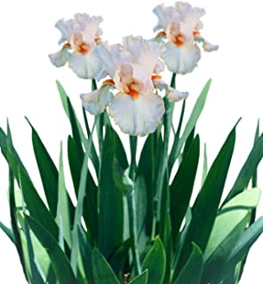 Reblooming Bearded Iris Priscilla of Corinth - 1 Large Rhizome - Blooms Twice in One Year | Ships from Easy to Grow TM
