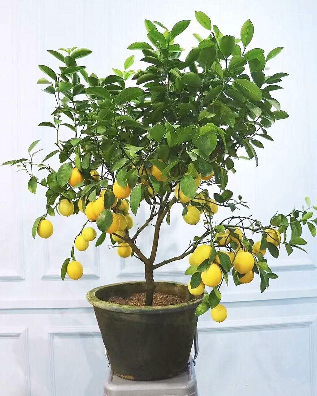 Lemon Seeds Lemon Tree Seeds Home Garden Plant DIY Bonsai (20 Seeds/Pack)