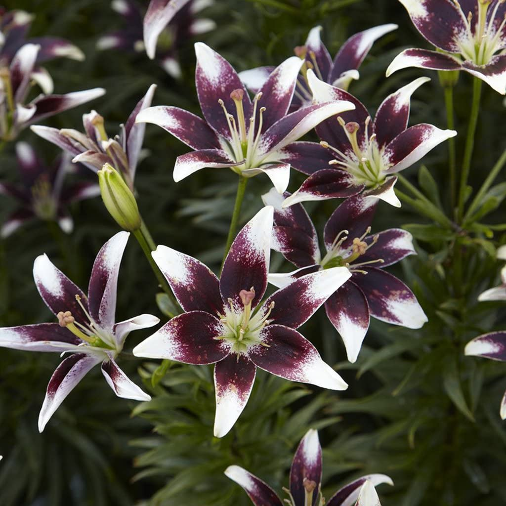 Van Zyverden Lilies Day & Night Collection Set of 12 bulbs
