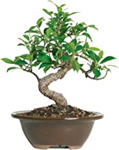 Best tropical bonsai trees Reviews