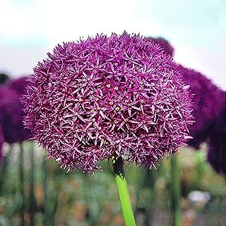 Allium aflatunense Purple Sensation - 10 flower bulbs