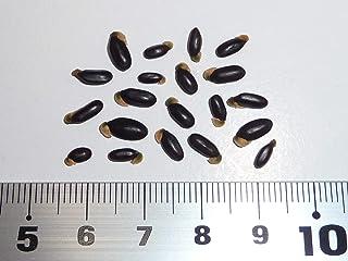 ギンヨウアカシア<銀葉アカシア>・プルプレア 種子20粒 Blue-leaved Cootamundra wattle 20 seeds