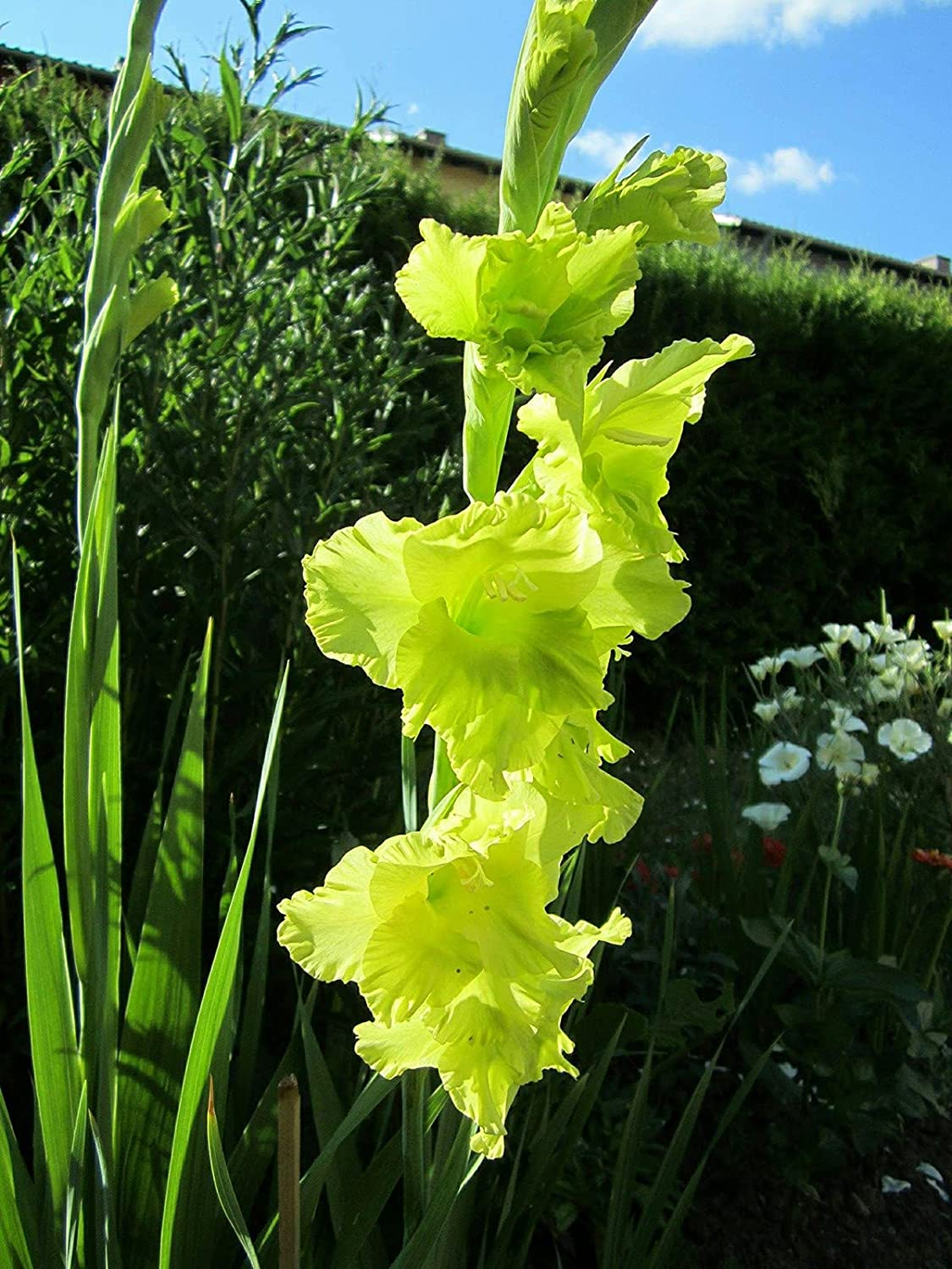 Gladiolus Bulbs Large Bor Attractive Flowers Brand new Now on sale