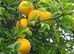 Hardy Orange seed (Poncirus trifoliata) a.k.a Chinese Bitter Orange,Hardy zone 5(30 Seeds)
