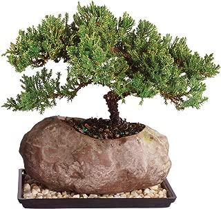 Brussel's Live Green Mound Juniper Outdoor Bonsai Tree in Rock Pot - 6 Years Old; 5