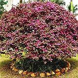 Semillas de árbol Loropetalum Chinense 50 Unids/lote Hermoso Adorno Flor Bonsai Semillas de Flor Loropetalum Rlowered Rojo Jardín de su casa