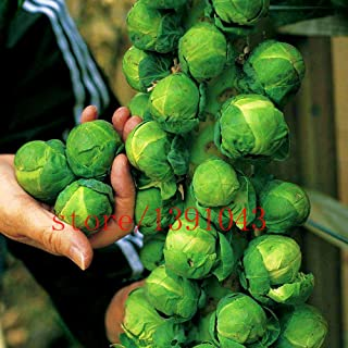 Hot Sale! 200pcs/bag mini cabbage seeds,Brussel Sprouts Seed, Long Island, Heirloom, Organic, Non-GMO vegetable seeds for home & garden