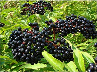 Ranch Elderberry - Tree - Shrub - Fruit - Established Roots - 1 Plant in 2 Gallon Pot by Growers Solution