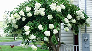 2 Pack of Pee Gee Hydrangeas - Two Live Plants Shipped 1 to 2 Feet Tall by DAS Farms (No California)