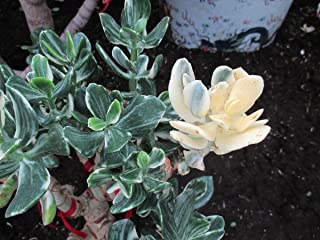 Jade plant: Crassula ovata