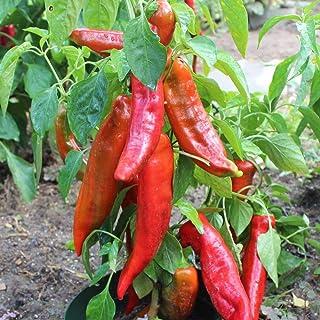 Samen für ca. 20 Pflanzen Corno di Toro rosso Paprika - italienische Sorte, ertragreich