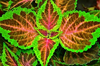 Seeds PACAKGE ONLY NOT Plants: Coleus Fairway Ruby Seeds - Red with Yellow Edge