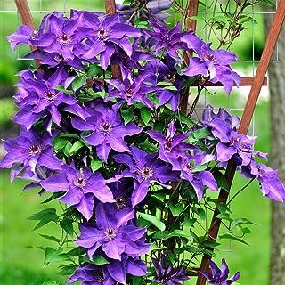 """Flowering Plant - Plant The President Clematis Vine Deep Purple 2.5"""" Pot Live Garden Plant Vine"""