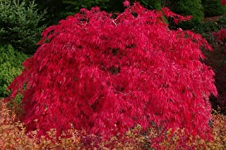 Best dwarf weeping japanese maple for sale Reviews