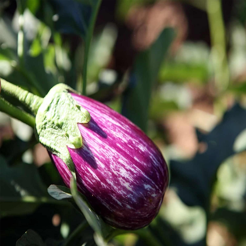 Ranking TOP9 Fairy Max 90% OFF Tale Hybrid Eggplant Garden 500 Ve - Non-GMO Seeds
