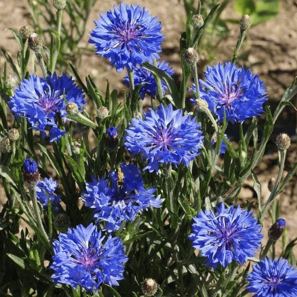 500 Tall Blue Branded goods Bachelor Oakland Mall Cornflower Seeds Button Wildflower