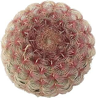Echinocereus Rainbow Hedgehog Cactus (4 inch)