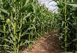 Yeele 10x8ft Photography Background Green Corn Field Maze Farmland Corn Field Labyrinth Harvest Autumn Agriculture Rural Scence Countryside Farm Studio Props Photo Backdrop Wallpaper
