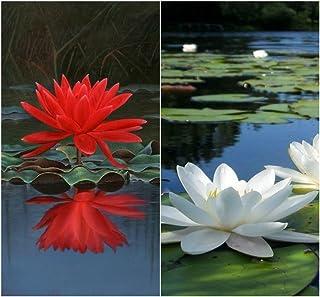 Semillas BloomGreen Co. Flor: Semillas de flor de loto rojo y blanco mezclado Paquete 15 Semillas de terraza y cocina jard...