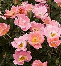Rainbow Knock Out Rose Bush - Disease Resistant! - 4