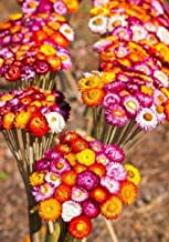 STRAWFLOWER TALL DOUBLE MIX 3 FT TALL DECORATING 50 seeds