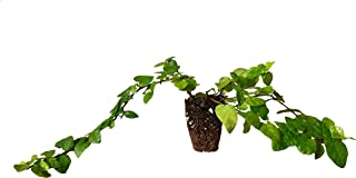 Creeping Fig Vine - Ficus Pumila - 10 Live Fully Rooted Plants - Climbing Ivy