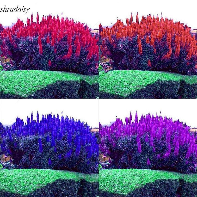 決めますスリラー棚赤:50pcsの屋外O種子マデラレインボーグラス種子S5Dy