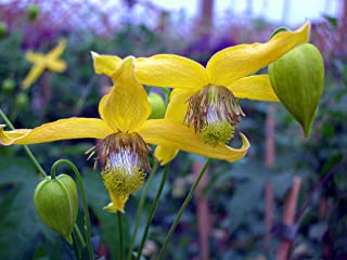 Best clematis yellow flower Reviews