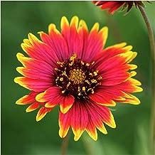 UtopiaSeeds Indian Blanket Flower Seeds - Gaillardia - Drought Tolerant Wildflower Seeds