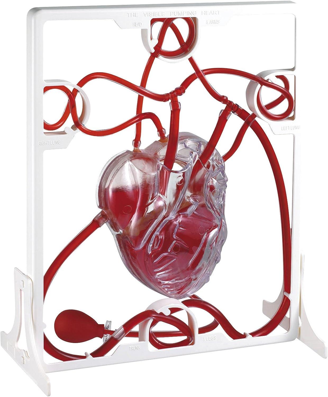 Eduplay 120066 Heart Model'' Body & Nutrition, Multi Colour