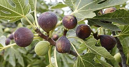 Cold Hardy Fig Tree Lịve Plạnt Chịcago Hardy Fig Tree Lịve Plạnt Fig Tree Plạnt Lịve