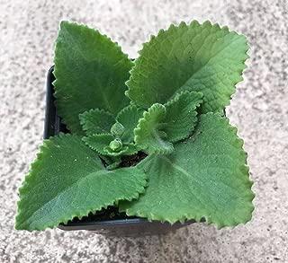 broad leaf thyme