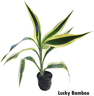 Potted Lucky Bamboo White Ribbon Dracaena Live Aquarium Plants for Freshwater Fish Tank Decorations by Greenpro