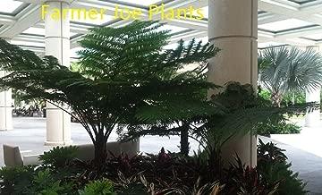 CYATHEA AUSTRALIS - AUSTRALIAN TREE FERN - LIVE PLANTS - 4