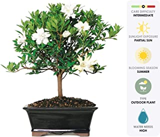 Brussel's Live Gardenia Outdoor Bonsai Tree - 6 Years Old; 8