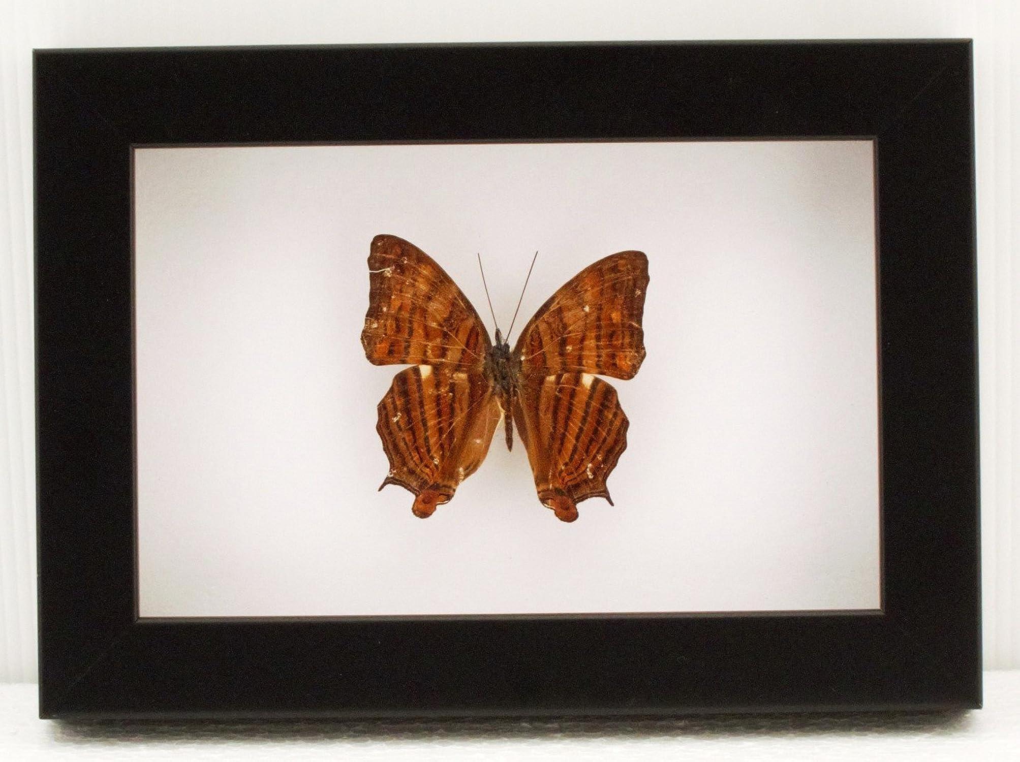venta con descuento Brave Wings Cyrestis Thyonneus celebrensis celebrensis celebrensis - Decoración de Parojo con Diseño de Mariposa de taxidermia montado bajo acrílico en Marco de Polietileno  muy popular