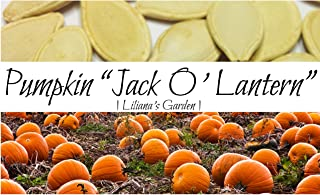 Pumpkin Seeds - Jack O'Lantern - Heirloom - The Original Carving Pumpkin - Liliana's Garden