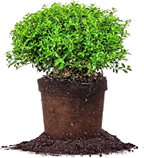 Perfect Plants Soft Touch Holly Live Plant, 1 Gallon, Includes Care Guide