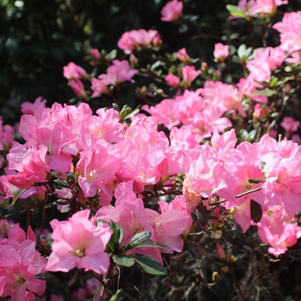 Perfect trust Plants Daily bargain sale George Tabor Azalea Include 3 Live Gallon Plant