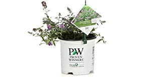 Best buddleia bush for sale Reviews