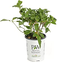 Little Lime Hardy Hydrangea (Paniculata) Live Shrub, Green to Pink Flowers, 4.5 in. Quart