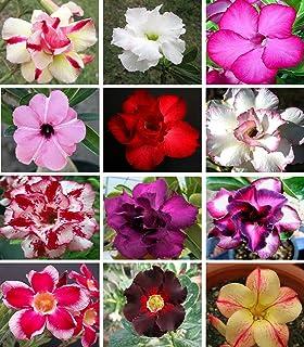 10 Sementes de Rosas do Deserto triplas, duplas e simples (Adenium obesum) Sortidas Kit nº 2 - Frete Grátis