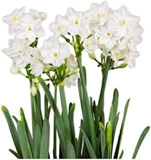 20 Paperwhites Bulbs NIR 17+ cm, Size Extra Large Paperwhites for ForcingGrown in Israel! - Best Quality - Indoor Blooming & Fragrant! Ships from USA