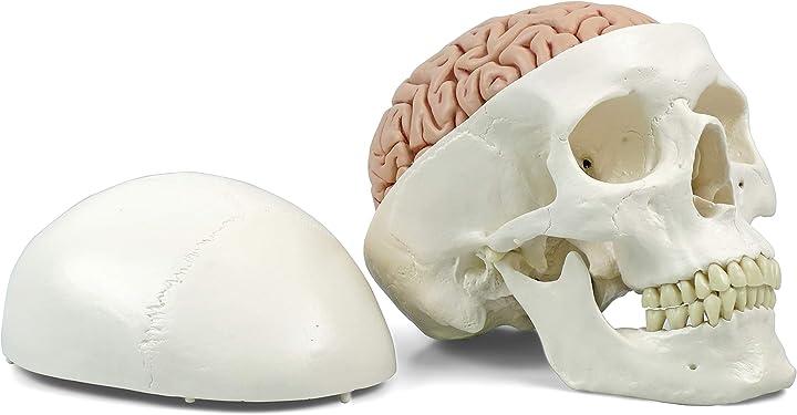 Cranio modello classico, con cervello, in 8 parti + software gratuito di anatomia - 3b smart anatomy A20/9
