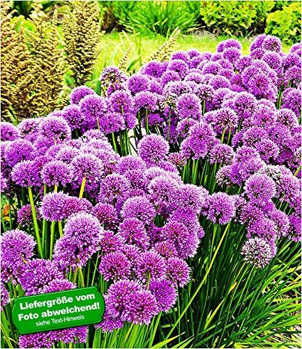 BALDUR-Garten Duft-Allium-Staude Millenium, 3 Knollen Zierlauch winterhart