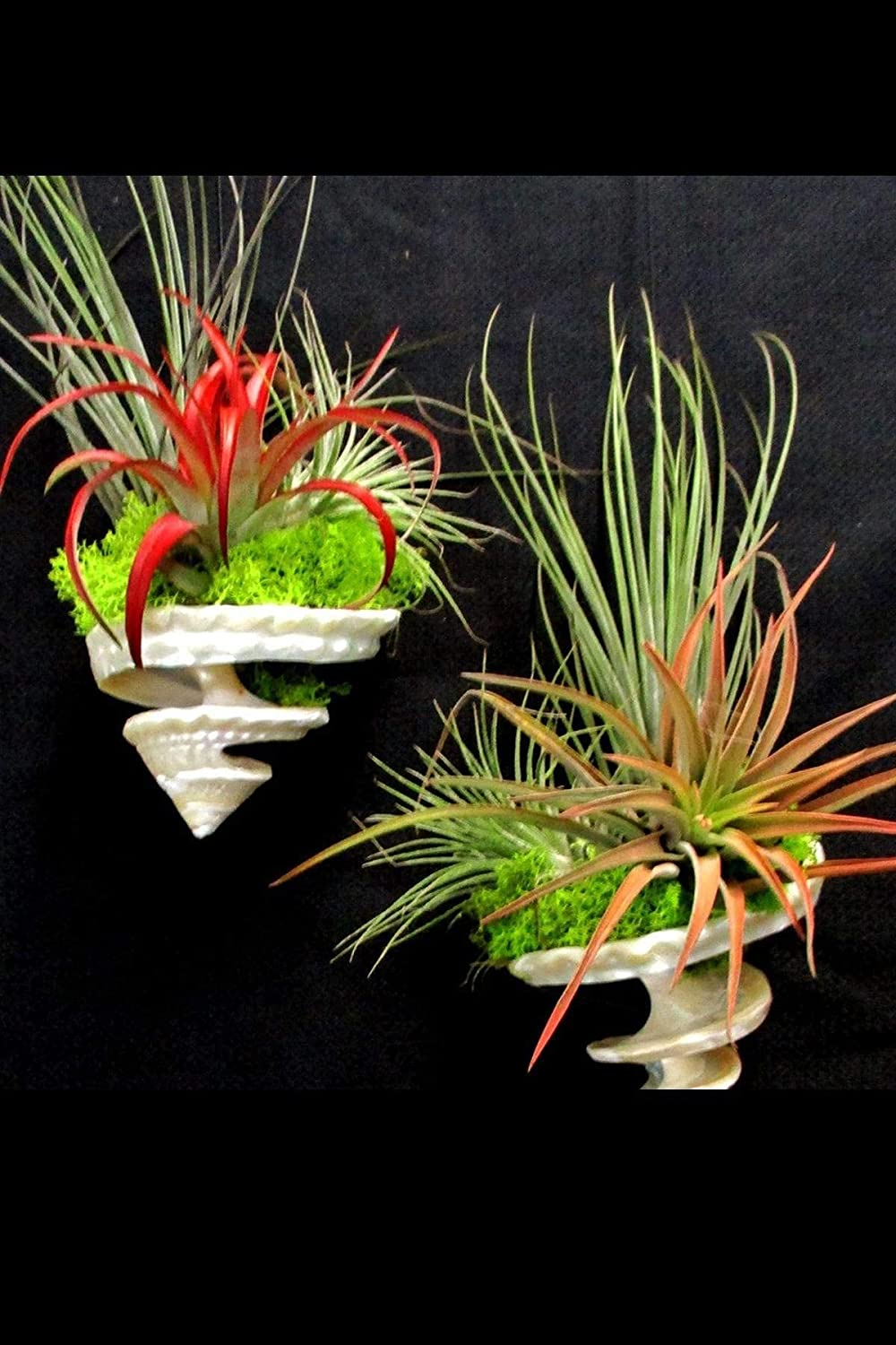 Air Plant Hanging security Spiral Shell Ca Az Size: Garden Excludes 35% OFF