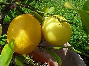 1 Dwarf Meyer lemon tree starter plant