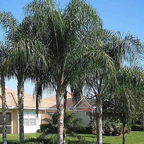 Syagrus romanzoffiana QUEEN PALM cocos plumosa Arecastrum 10 ou 100 graines