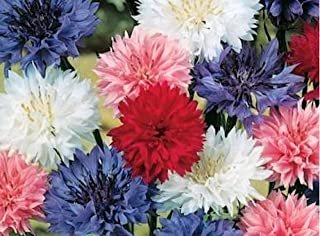 Cornflower / Bachelor Button Seeds Multi Color - Dwarf Mix Centaurea Cyanus 100+