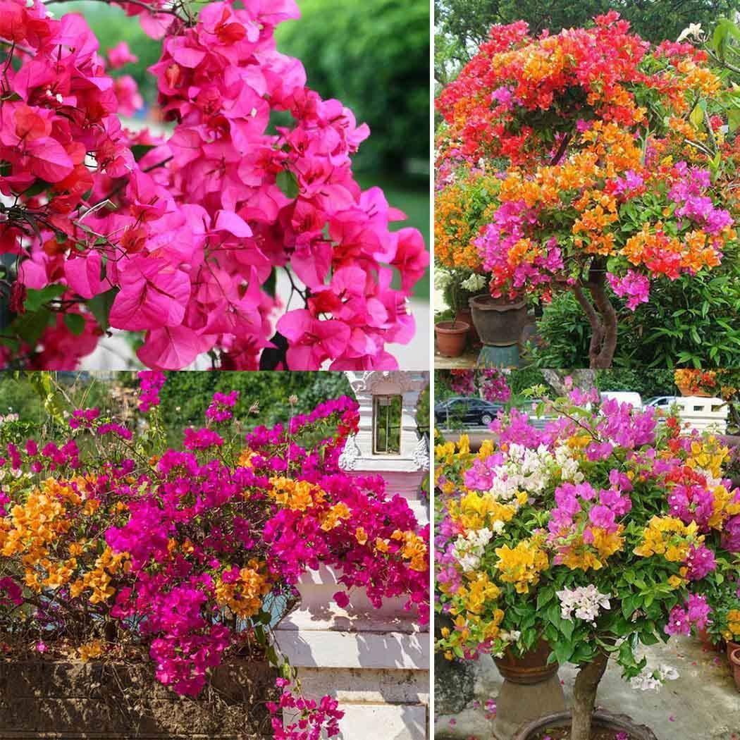 Ncient 10/20/ 50 Semillas Buganvillas Semillas Flores Raras Colores Semillas Aromaticas Plantas Bonsai para Maceta Jardín Balcon Interior y Exteriores: Amazon.es: Jardín